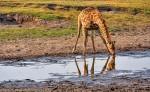 © Giraffe Reflection. Africa. Photographer Deborah Balcanoff for ANIMAL Entry 2015 YOUR FOCUS ON THE WORLD Photography World Contest @ https://photographyworld.org/
