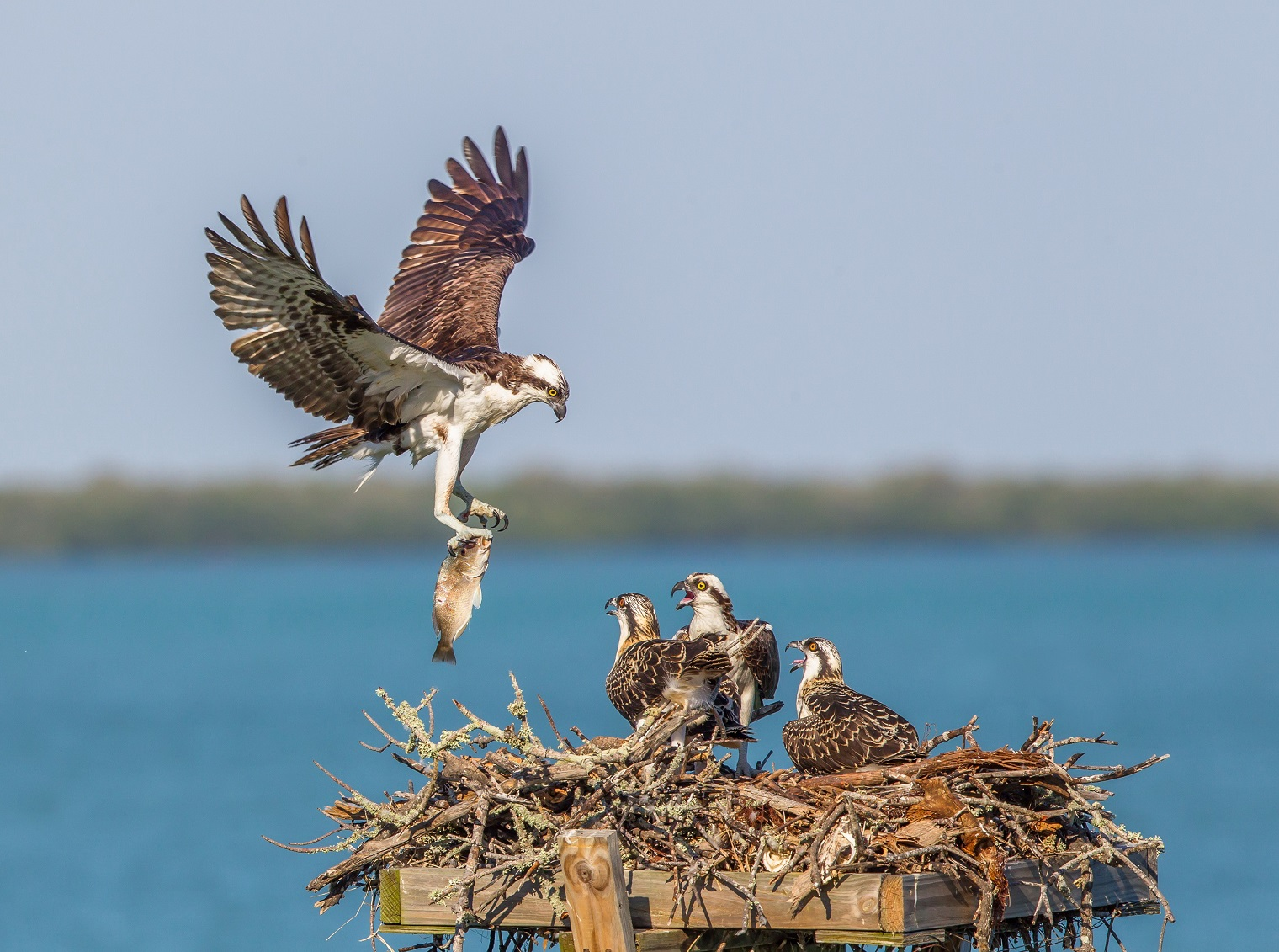 © Osprey. Photographer Patricia Ann Wright Awarded HONORABLE MENTION for the 2015 Photography World Contest YOUR FOCUS ON THE WORLD