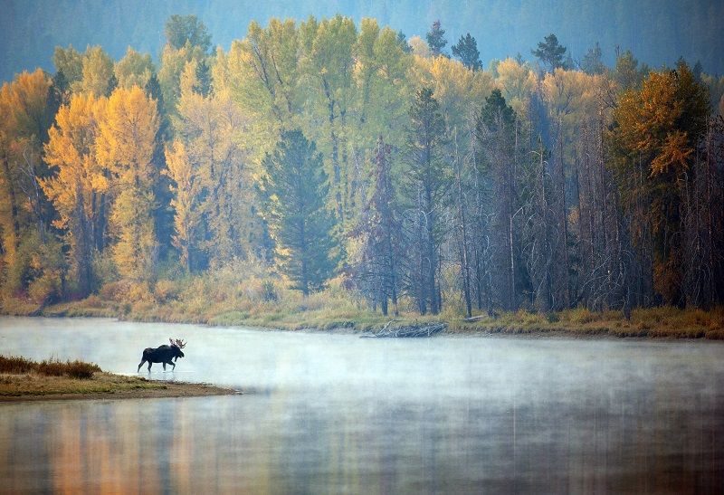 © Moose in Grand Teton National Park. Photograph by Jon Jacobs is Awarded HONORABLE MENTION in the 2015 Photography World Contest YOUR FOCUS ON THE WORLD, Category SCENESCAPES
