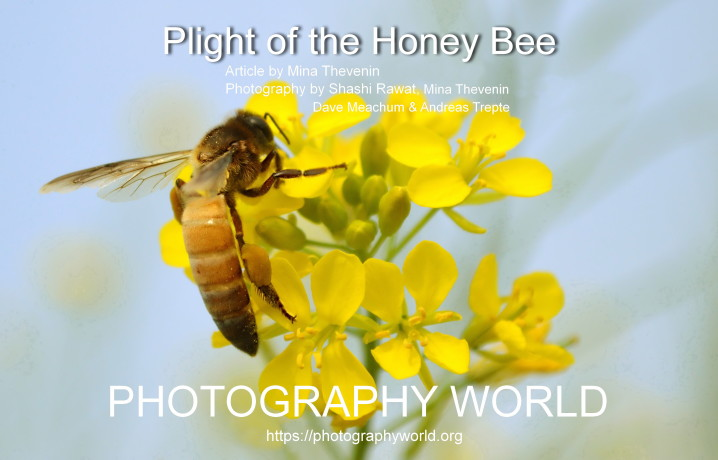 Cover. PLIGHT OF THE HONEY BEE. Cover Image Honey Bee. Copyright image by Shashi Rawat and Article by Mina Thevenin at photographyworld.org