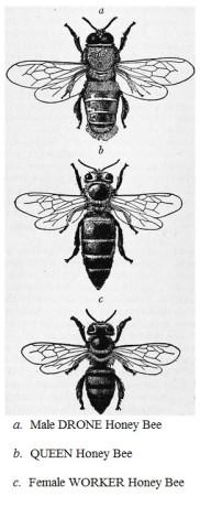 Examples of Honey Bee Caste