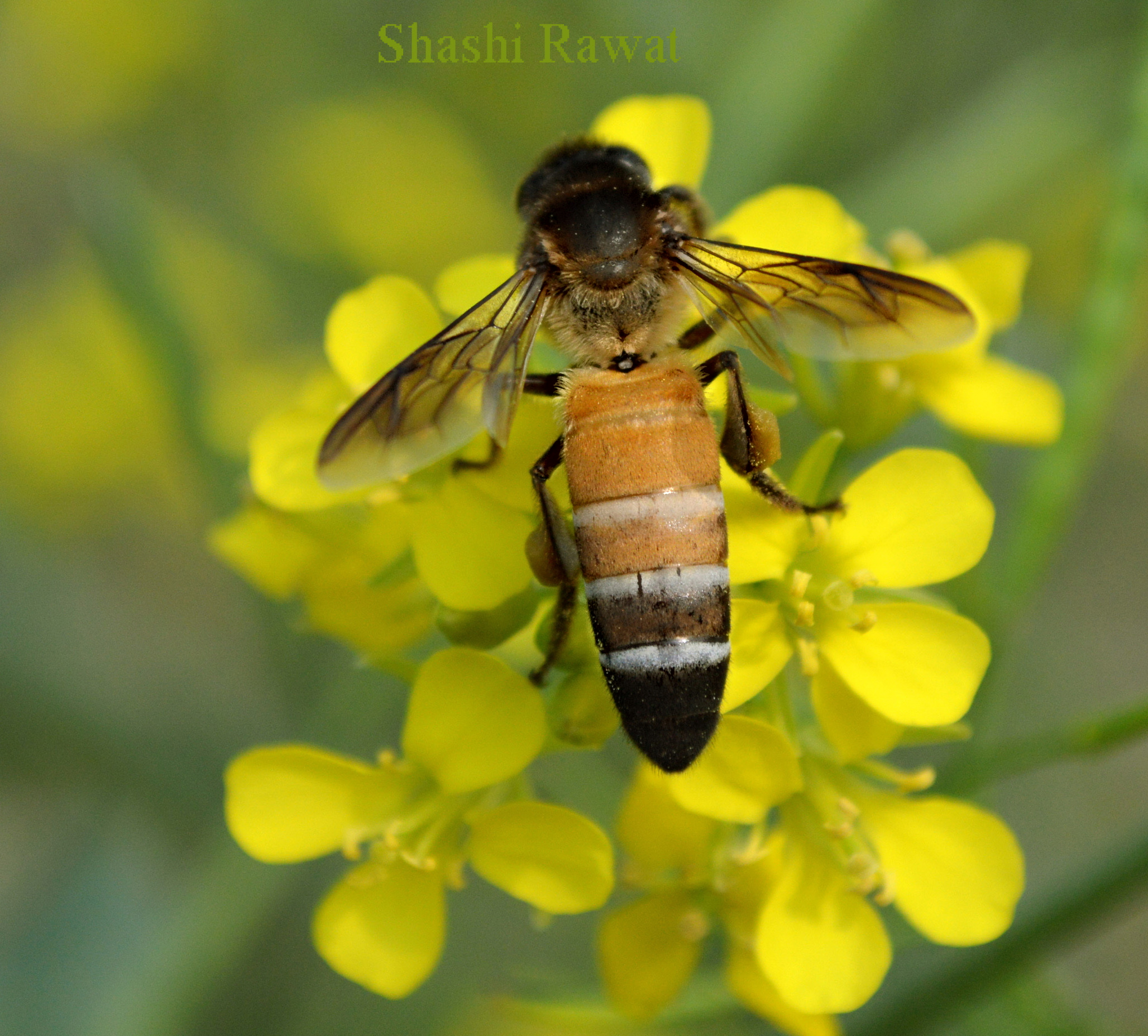 Honey Bee on Yellow Flower. Copyright image by Shashi Rawat