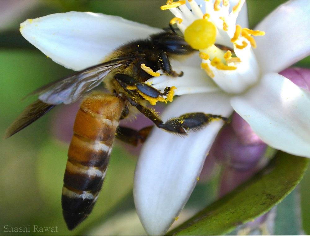 POLLEN-GRAIN ON HONEY LEGS Copyright photograph by Shashi Rawat @ https://photographyworld.org/nature/honey-bee