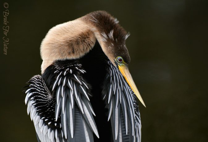 Anhinga Female, a copyright image, by Photographer Barbara Hoeldt for Photography World.ORG @ https://photographyworld.org/animals/water-birds-of-north-america/