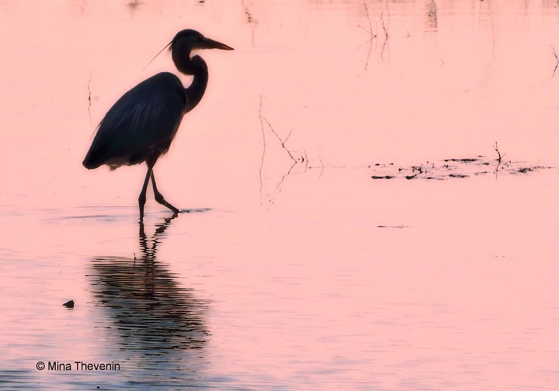 Blue Heron at Tuttle Creek. Kansas. Copyright image by Mina Thevenin for Photography World. ORG @ https://photographyworld.org/animals/water-birds-of-north-america/
