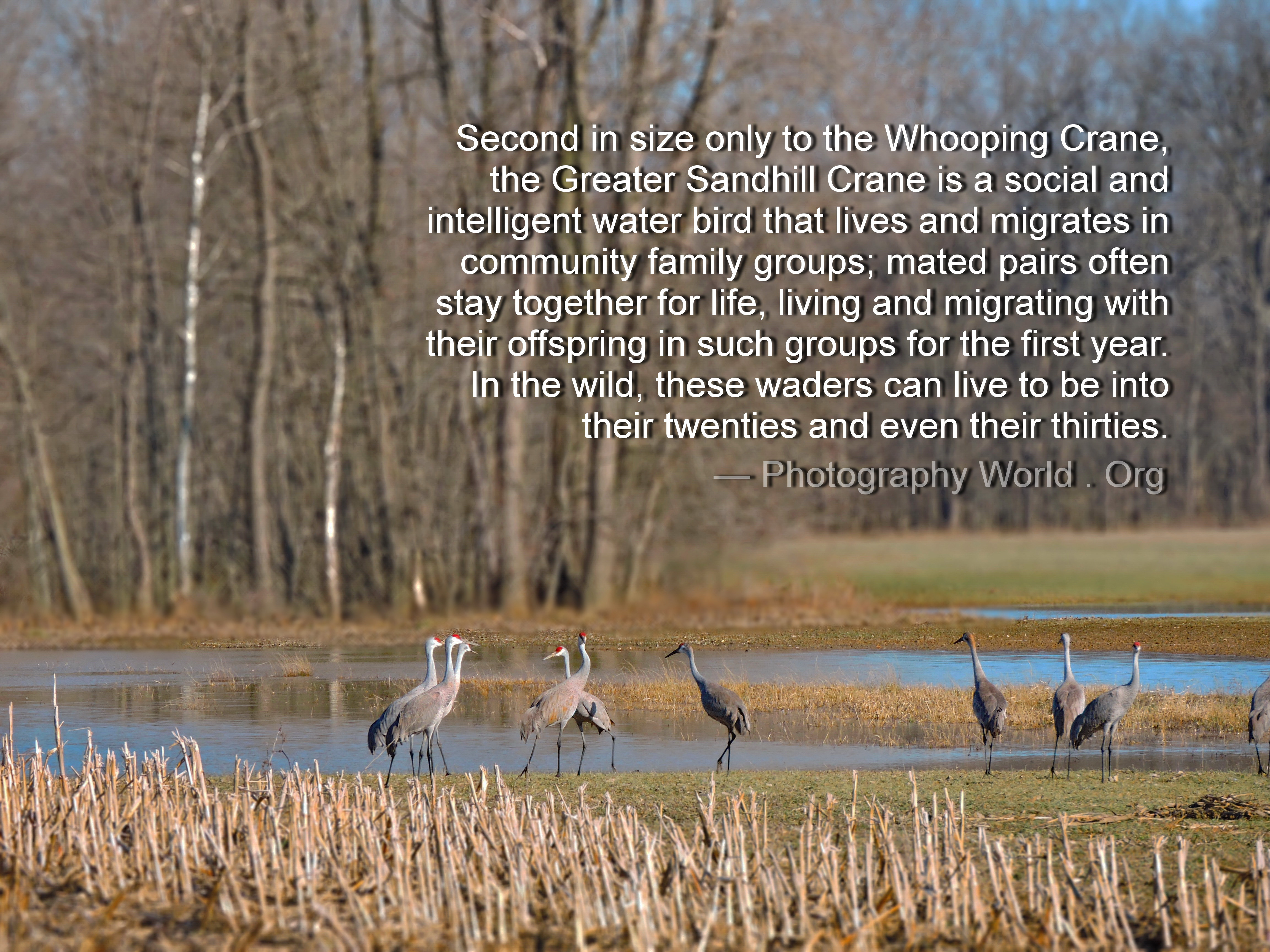 Family Group of Sandhill Cranes. Photograph by Mina Thevenin @ https://photographyworld.org/animals/water-birds-of-north-america/