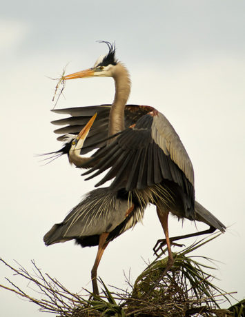 Great Blue Herons, Florida. Photographer Robert Wilson @ https://photographyworld.org/animals/water-birds-of-north-america/