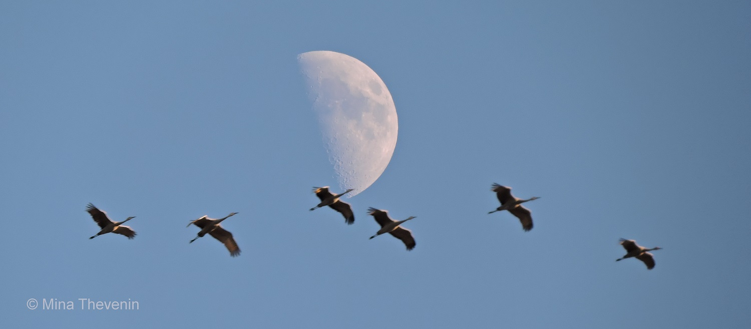 Sandhill Cranes and Moon. Photograph by Mina Thevenin for Photography World . ORG @ https://photographyworld.org/animals/water-birds-of-north-america/