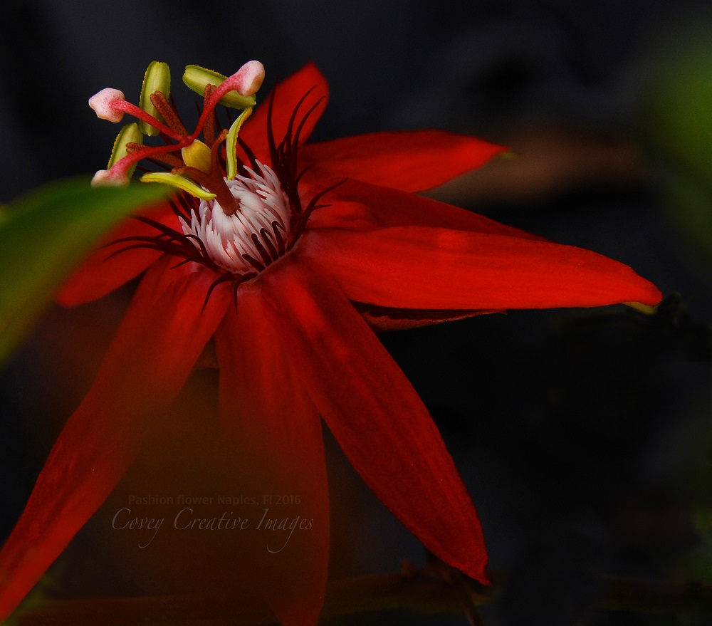 Photographer Linda Covey Passion Flower for Photography World Contest 2016 @ https://photographyworld.org/contests/photography-winners-2016/