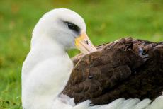 © Laysan Albatross on Kaua'i. Photograph by Doug Oglesby @ https://photographyworld.org/nature/early-hawaii-history/