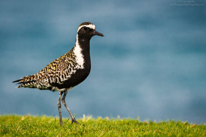 Pacific Golden Plover in breeding plumage in Hawai'i. Copyright Photograph by Doug Oglesby @https://photographyworld.org/nature/early-hawaii-history/
