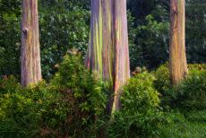 Rainbow Eucalyptus on the Road to Hana in Mau'i. Copyright image by Photographer Doug Oglesby for Early Hawai'i History @ https://photographyworld.org/nature/early-hawaii-history/