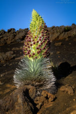 Silversword for Early Hawai'i History. A copyright image by Photographer Doug Oglesby @ https://photographyworld.org/nature/early-hawaii-history/