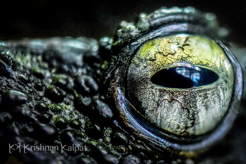© Eye of the Crocodile by Photographer Krishnan Kalpat @ https://photographyworld.org/contest/focus-world-contest-winners-2016/