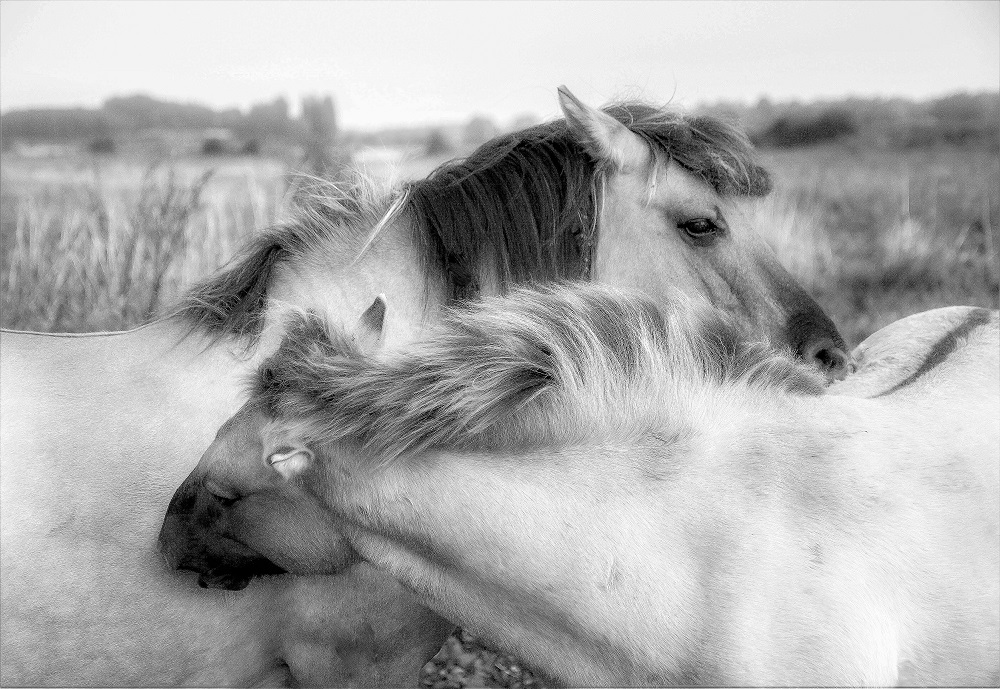 © Hans Franken HORSES NUZZLING Awarded Honorable Mention in the 2016 YOUR FOCUS ON THE WORLD International Photography World Contest @ https://photographyworld.org/contest/focus-world-contest-winners-2016/